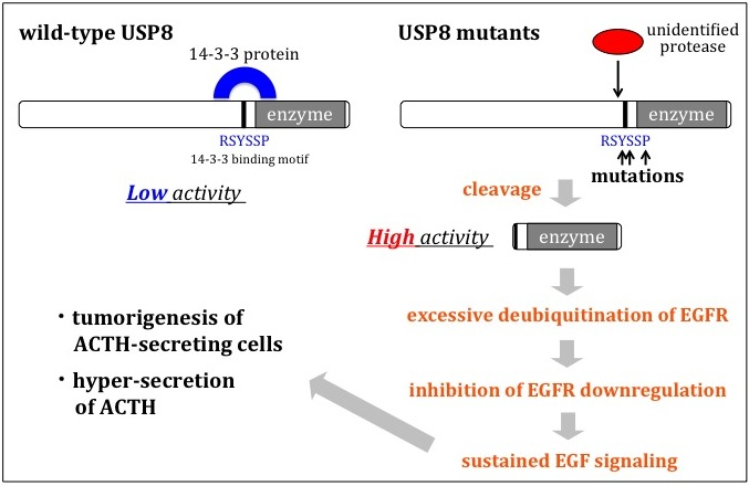 The mechanisms how USP8 mutations lead to Cushing's disease