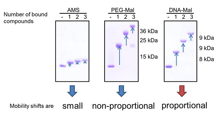 Comparison of mobility shifts derived from labeled maleimide compounds. AMS (left) derived mobility shifts are small. The mobility shifts of PEG-Mal labeled protein (middle) were not proportional and depending on the number of labeled maleimide compounds, making it difficult to determine the number of free thiols. In contrast, DNA-Mal (right) gave proportional mobility shifts, and the number of free thiols can be directly determined by the shifts.