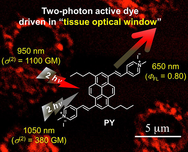 "Two-photon active dye driven in ""tissue optical window"""