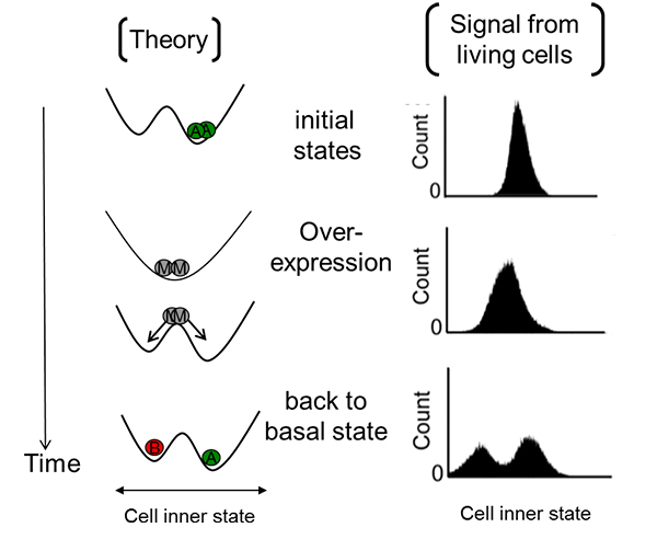 Temporal monostable system induced by gene-over expression can divide a cell population at basal state into two