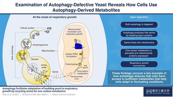Examination of Autophagy-Defective Yeast Reveals How Cells Use Autophagy-Derived Metabolites