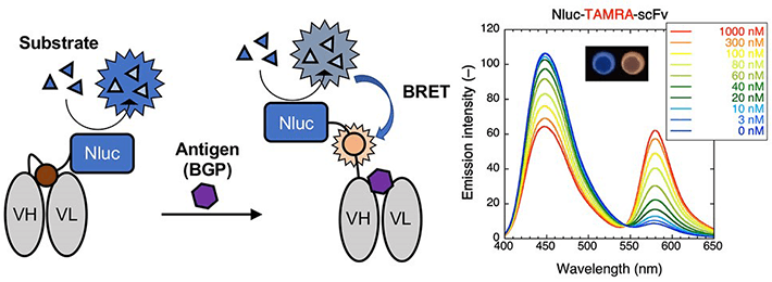 Figure 1 Mechanism for luminescence and emission spectra for the TAMRA-labeled BRET Q-body The enzyme