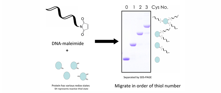 Maleimide Conjugation Dna Conjugated Maleimide Group