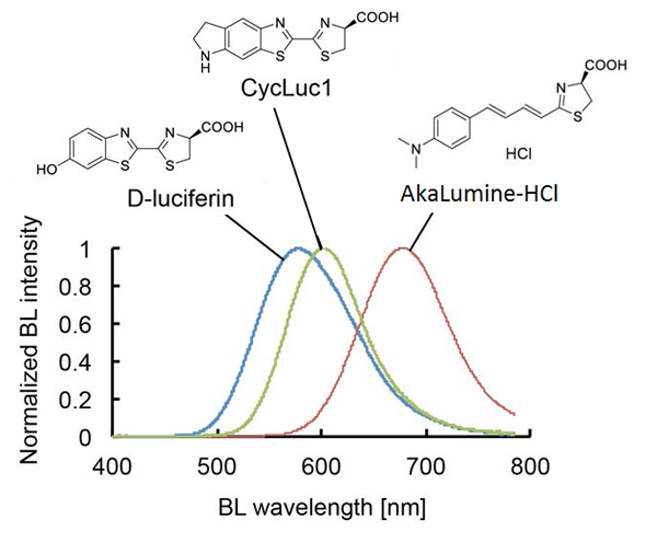 Bioluminescence emission spectra of D-luciferin, CycLuc1 or AkaLumine-HCl.