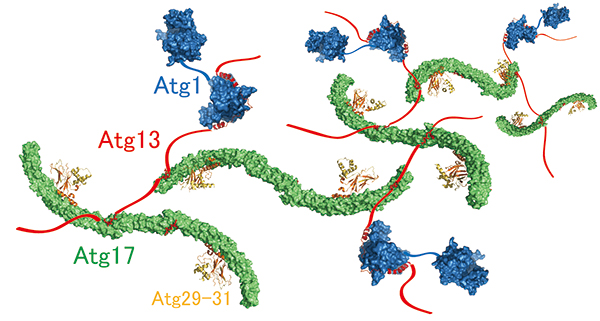 Molecular mechanism of supramolecular autophagy initiaition complex assembly mediated by Atg13.