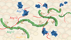 The intrinsically disordered protein Atg13 mediates supramolecular assembly of autophagy initiation complexes