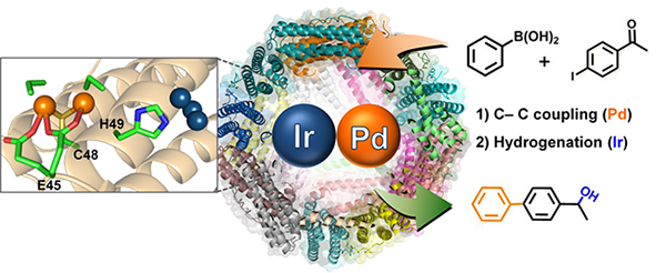 Schematic representation showing the crystal structure and catalytic reactions of apo-ferritin cage containing both Ir and Pd complexes.