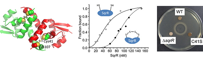 Action and function of the sulfide-responsive transcriptional repressor SqrR