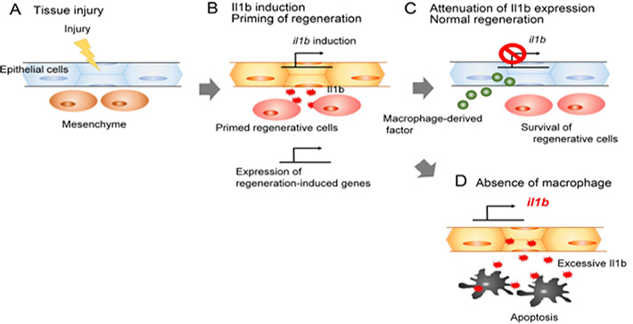 The role of Il1b and macrophages during fin regeneration.