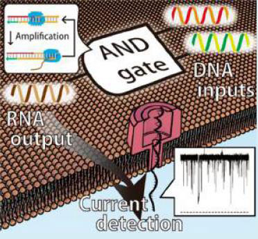 DNA computing molecules are detected by nanopore proteins reconstituted in artificial cell membranes. Input DNA molecules were converted and output as RNA molecules, and then the RNA molecule information passing through the nanopore was extracted electrically.