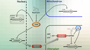 Target of rapamycin: linking cytosolic and chloroplast ribosome biogenesis in plants