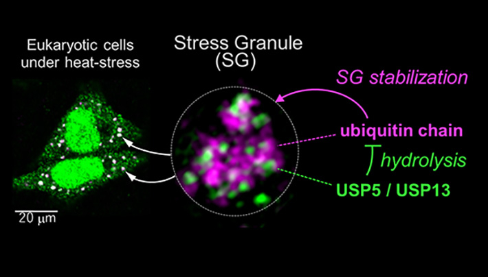 Illustration of the inner structure of stress granules