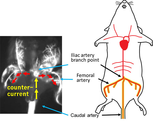 The caudal artery (CA) as a new route for injection
