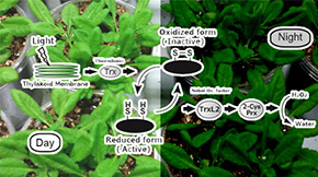 How do plants rest photosynthetic activity at night?