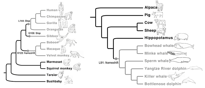 Single emergence and two major losses of ancV1R gene during vertebrate evolution.