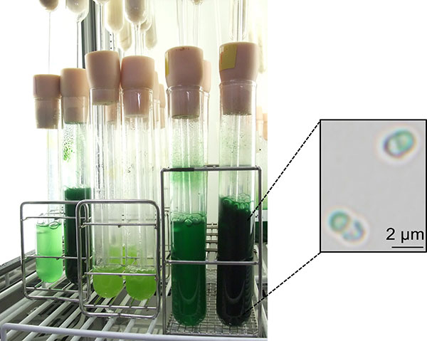 Figure 1. Cultivation of the unicellular red alga C. merolae in the laboratory