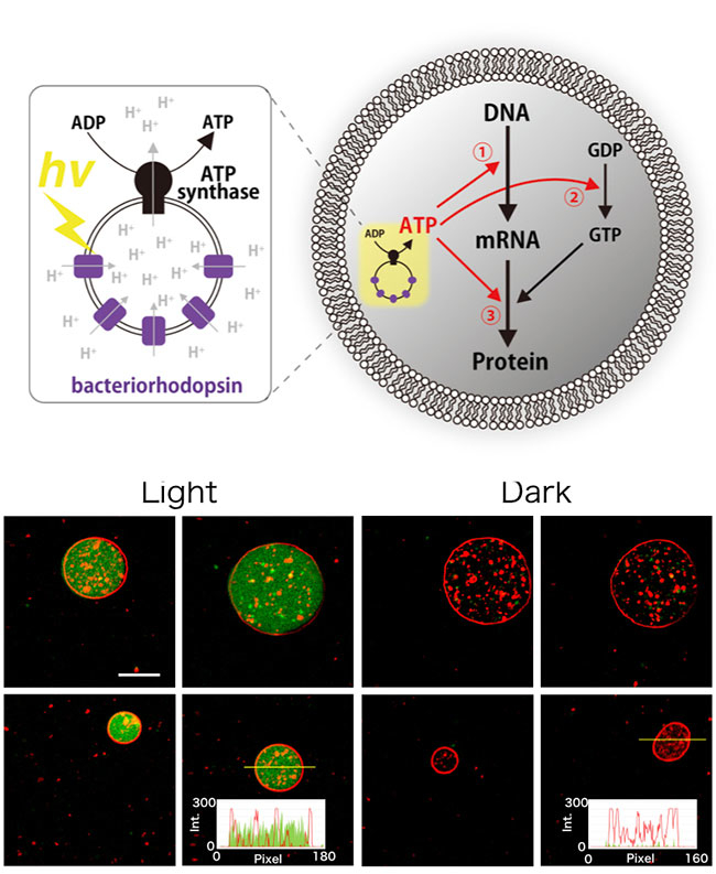 (up) Schematics of the artificial photosynthetic cell encapsulating artificial organelle consists of ATP synthase and bacteriorhodopsin. The artificial organelle synthesizes ATP by light illumination. The photosynthesized ATP was consumed for transcription, GTP synthesis, or translation. (below) Microscopy image of artificial cell photosynthesizing GFP by light. Bar: 10 µm. The membrane of the artificial cell labeled by fluorescent lipid (red). The histogram of fluorescent intensity of the selected artificial cell are shown as inset graph. Credit: Kuruma et al., Nature Communications, 2019