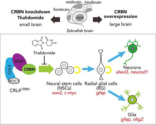 Thalidomide inhibits CRBN-mediated differentiation of NSCs to promote normal brain development.