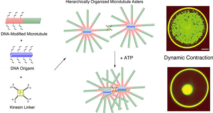 Mixing DNA-modified microtubules, DNA origami and kinesin linkers leads to star-like formations of microtubules that are connected by kinesin linkers. This network contracted dynamically when ATP energy was added. (Matsuda K. et al., Nano Letters, April 30, 2019)