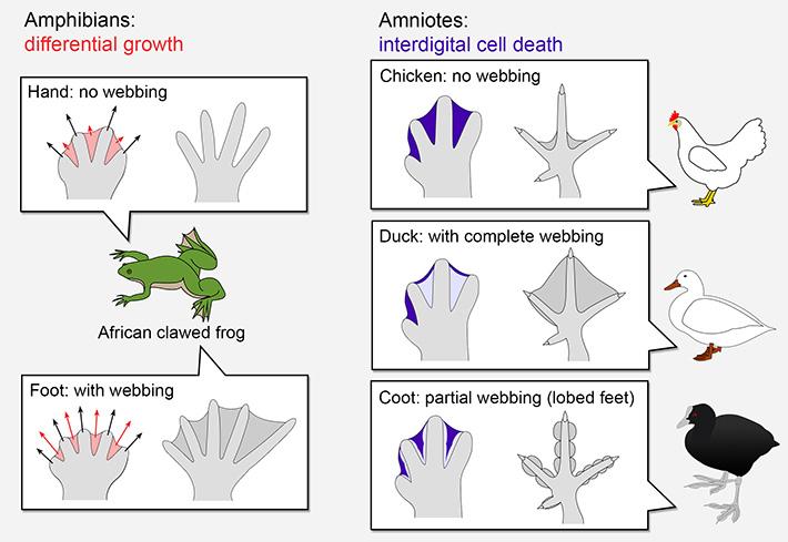 Figure 1. Strategies to shape the limbs.