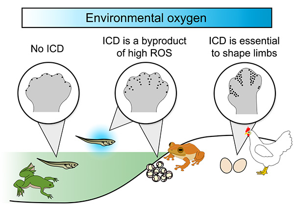Figure 2. Model for the appearance of interdigital cell death (ICD) in tetrapods, the group that includes amphibians and amniotes.