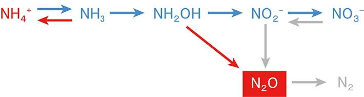 Production and consumption processes of N2O. Red and blue arrows show nitrification, and gray arrows show nitrifier-dnitrification and denitrification. In the region studied in this work, N2O is mainly produced by nitrification and denitrification. Red-colored substance and arrows are respectively increased and enhanced by ocean acidification whereas blue-colored ones are decreased or suppressed. The present study revealed that the process from NH2OH to N2O is enhanced by ocean acidification.