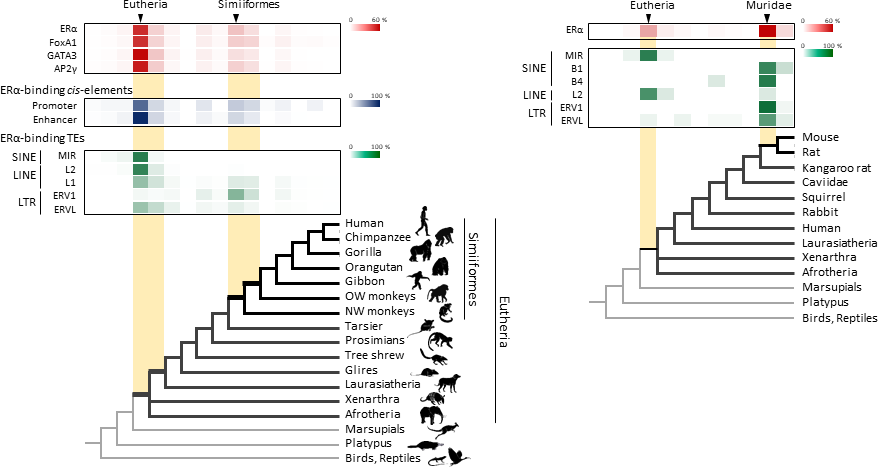 Transposable element-derived binding sites were acquired during distinct phases in mammalian evolution.