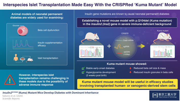 Figure 1. Interspecies Islet Transplantation Made Easy With the CRISPRed Kuma Mutant Model