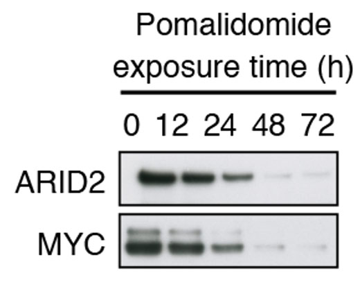 Figure 1. Effects of pomalidomide treatment on ARID2 and MYC levels