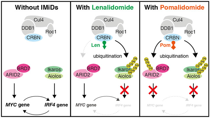 Figure 2. Effects of pomalidomide and lenalidomide on biochemical pathways inside the myeloma cells