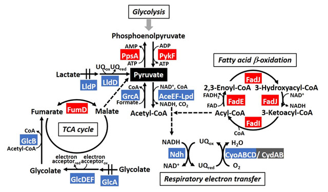 Figure 1. The model of PdhR regulon in metabolic map involving pyruvate