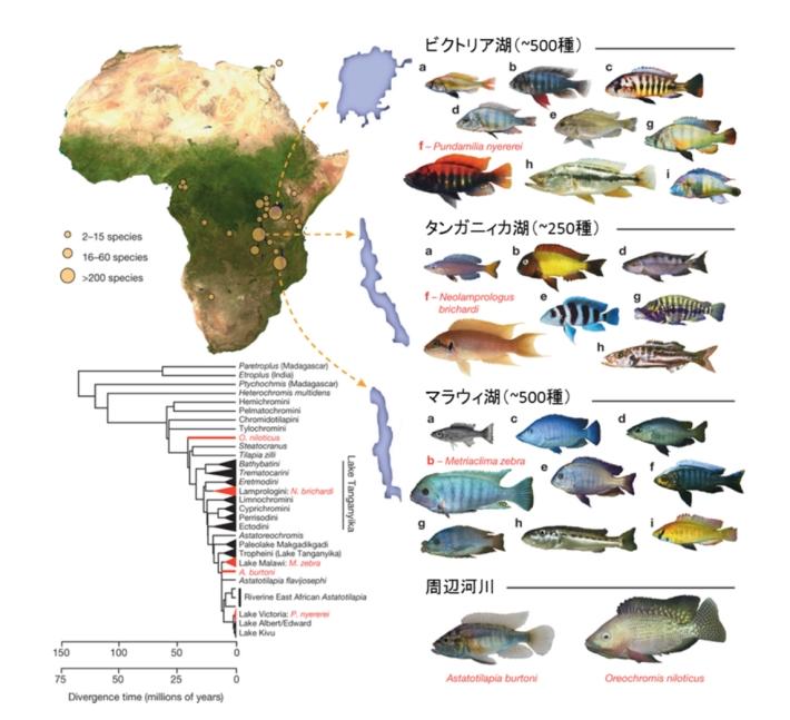 アフリカ・シクリッドの多様性は...