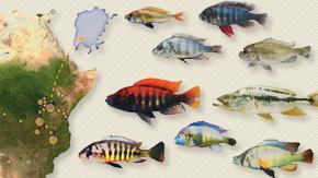 アフリカ・シクリッドの多様性は過去のゲノム多型が基盤 ―シクリッド5種の全ゲノム配列を決定して解明―