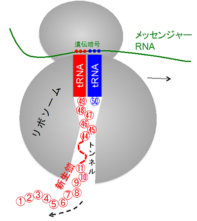 タンパク質合成過程における「緩...