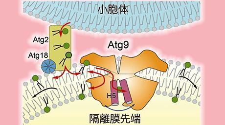 オートファゴソーム膜を伸ばす仕組みを解明
