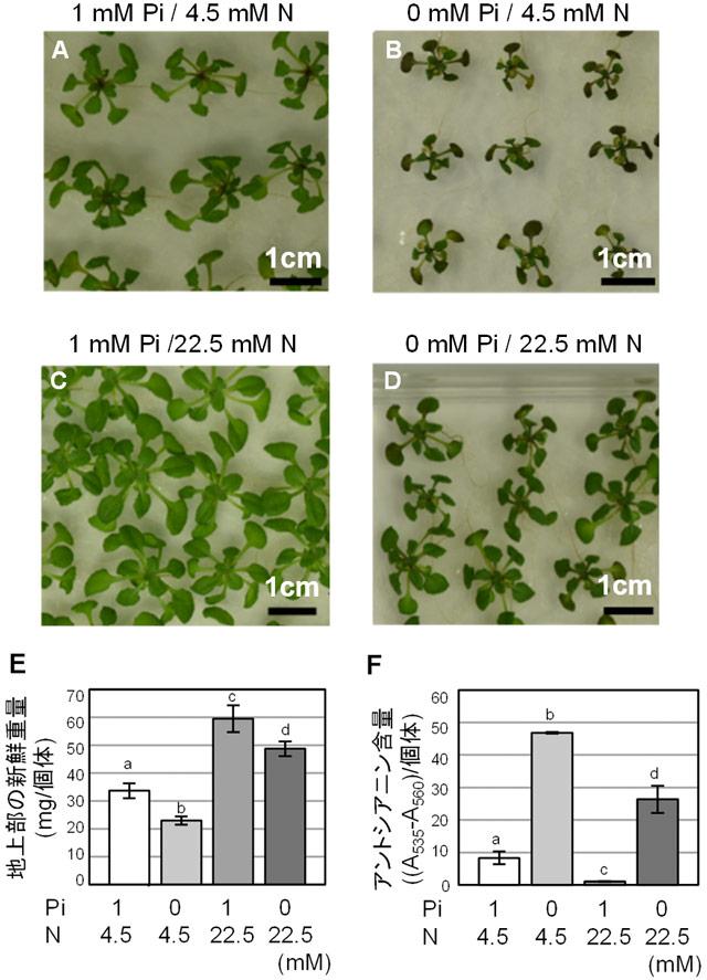 図1. 窒素過剰施肥がリン欠乏育成シロイヌナズナに与える影響