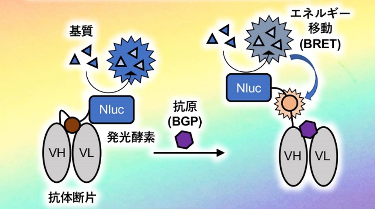 蛍光抗体と発光酵素を組み合わせ、発光色の変化で抗原を高感度検出