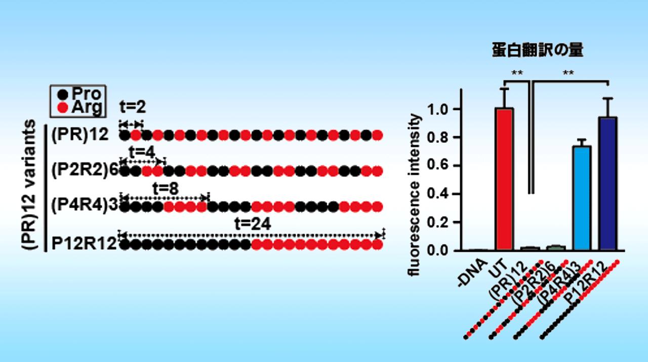 筋萎縮性側索硬化症(ALS)原因蛋白の毒性メカニズムを解明