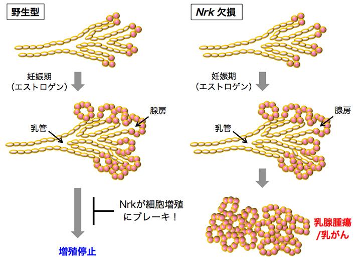 Nrk欠損による乳腺上皮細胞の増殖制御の破綻