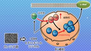 カビによる肝障害悪化メカニズムを解明 ―カンジダ菌は活性酸素を産生しタンパク質架橋酵素の核移行を招く―