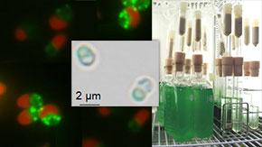 オイル生産性が飛躍的に向上したスーパー藻類を作出