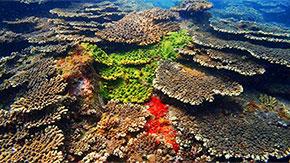 和歌山以南の温帯域が準絶滅危惧種のサンゴの避難場所として機能